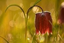 Ł.Łukasik szachownica kostkowata (Fritillaria meleagris)