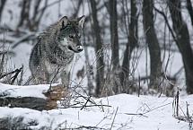 Canis lupus (grudzien 2006, Matragona) HV1X8014 copy