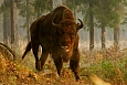 Zubr (Bison bonasus), fot. Łukasz Lukasik