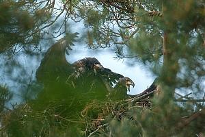 Bielik (Haliaeetus albicilla), fot. Cezary Korkosz