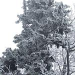 Grudzień 2008 - sosna w szadzi