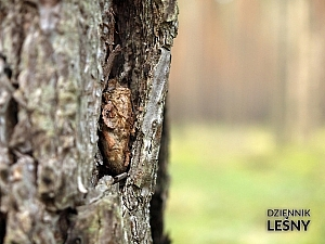 Barczatka sosnówka - poczwarka w oprzędzie