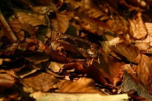 i zwierzątka - ta żabka dobrze się zamaskowała żaba trawna (Rana temporaria)