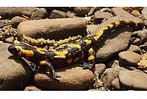 Salamandra plamista (Salamandra salamandra), autorką zdjęcia jest: Katarzyna Szkopińska