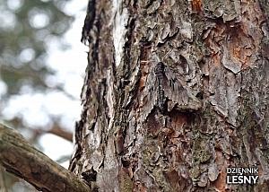 Zawisak borowiec