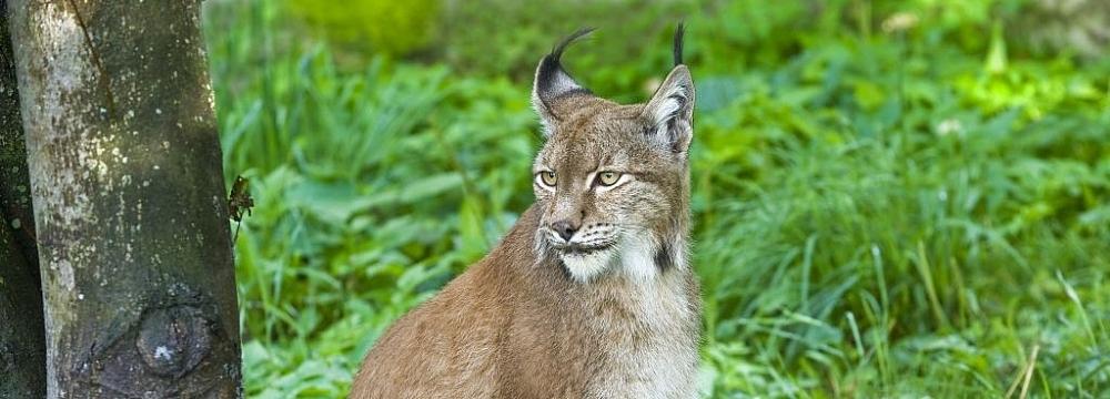 Ryś (Lynx lynx) - Cezary Korkosz