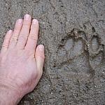 świeży trop wilka
