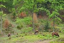 Żubr (Bison bonasus), foto: Rafał Szkopiński
