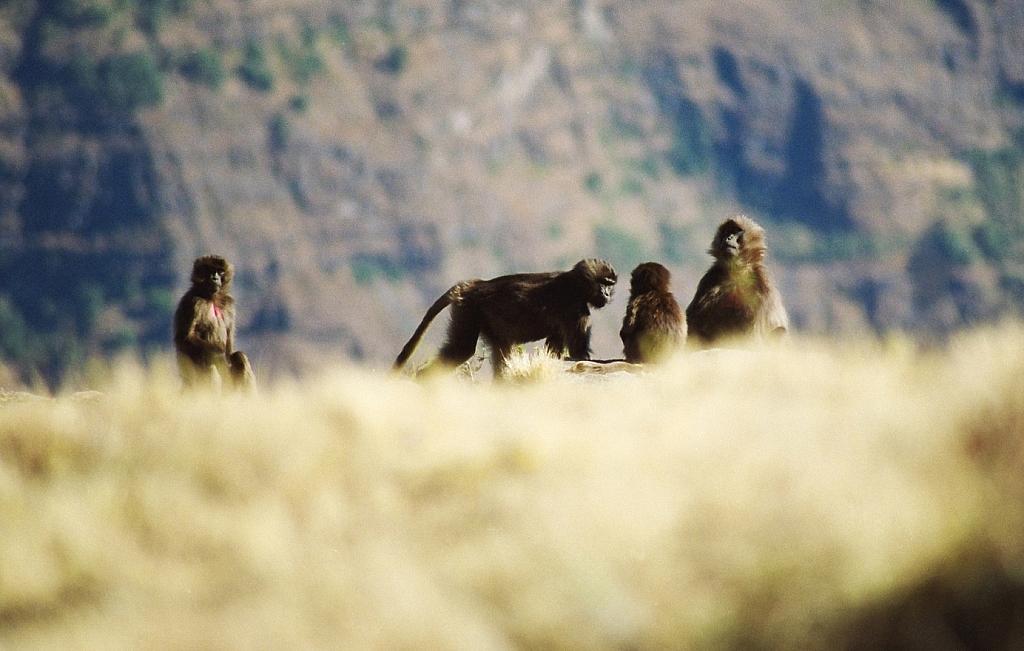 gelada baboon zwane małpami z krwawiącym sercem
