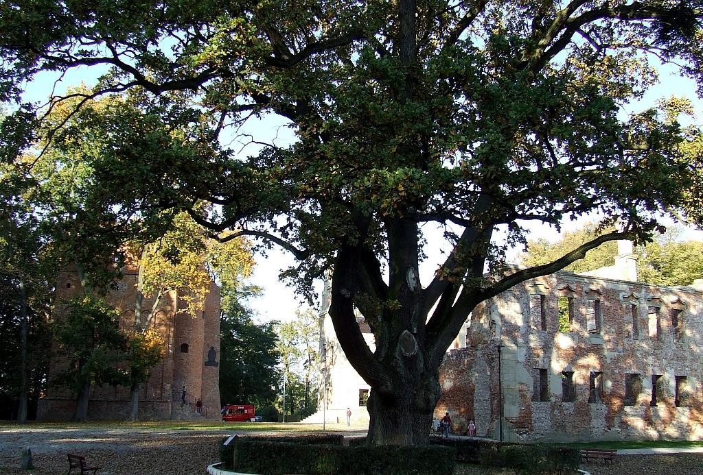 130 letni dąb szypułkowy o obwodzie 640 cm wpisany do rejestru pomników przyrody , na terenie Zespołu Zamkowo - Parkowego w Żmigródku (woj. dolnośląskie)