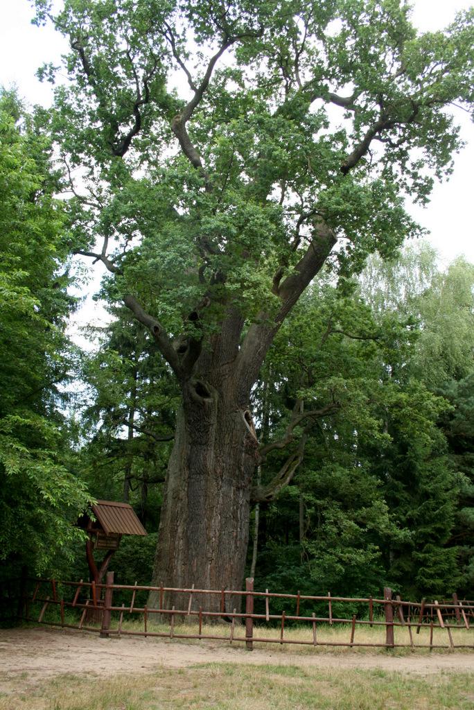 """Dąb szypułkowy  (QuercusroburL.)""""Chrobry"""""""