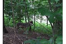 Wilk  (Canis lupus), fot. Teresa Podgórska