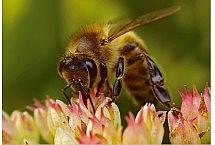 Pszczoła miodna (Apis mellifica) , fot. Paweł Bieniewski