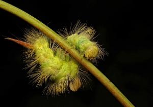 Calliteara pudibunda syn. Dasychira pudibunda - szczotecznica szarawka