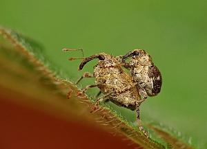 Cidnorhinus quadrimaculatus