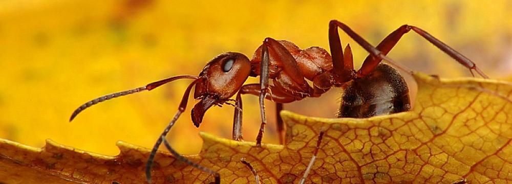 Formica polyctena - mrówka ćmawa (2)