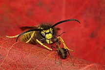 Formica polyctena - mrówka ćmawa (4)