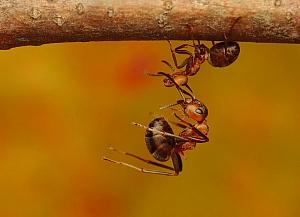 Formica polyctena - mrówka ćmawa (5)