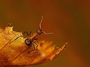 Formica polyctena - mrówka ćmawa (6)