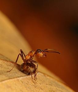 Formica polyctena - mrówka ćmawa (9)