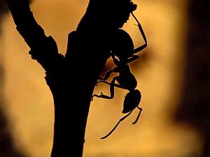 Formica pratensis - Mrówka łąkowa