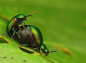 Gastrophysa viridula - kałdunica zielona