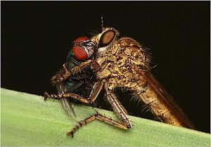 Machimus atricapillus - Łowik czarniawy