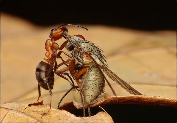 Mrówka ćmawa - Formica polyctena