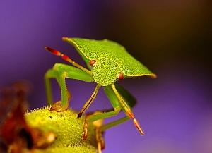 Palomena prasina - odorek zieleniak