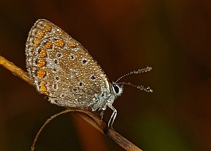 Polyommatus icarus - modraszek ikar
