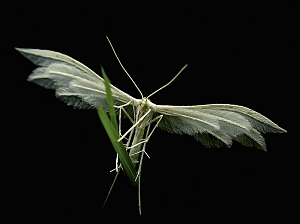 Pterophorus pentadactyla - piórolotka pieciopióra