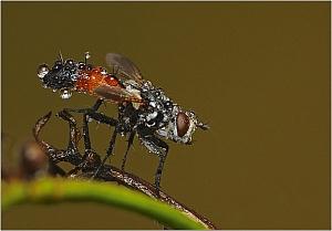 Rączyca - Tachinidae sp.