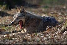 Wilk (Canis lupus). fot. Cezary Korkosz