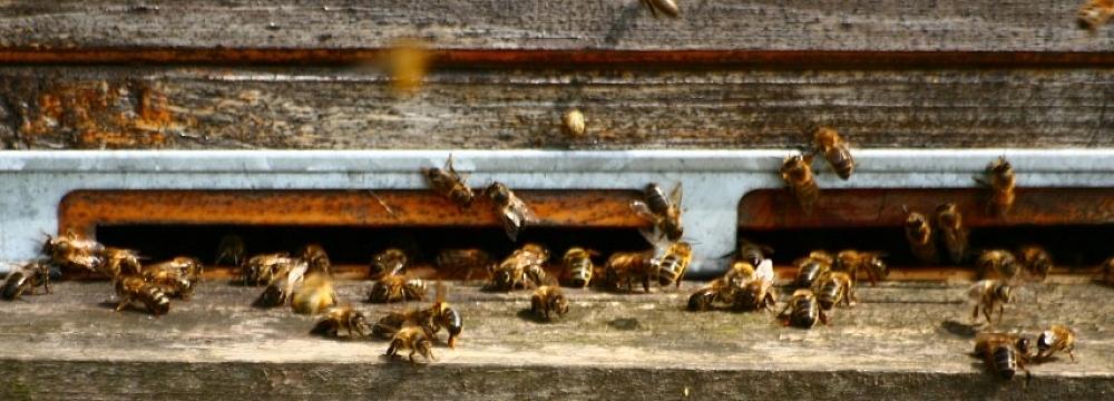 pszczoły, fot. Teresa Podgórska