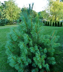 Sosna himalajska (Pinus wallichiana A.B. Jacks)