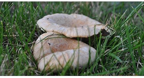 grzyby jarosławice (3)