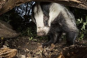 Badger, fot. Damian Kuzdak