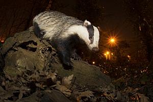 Badger(2), fot. Damian Kuzdak