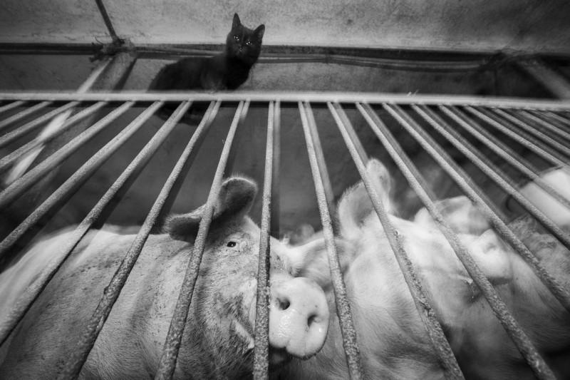 Świnie, fot. Maciej Fiszer
