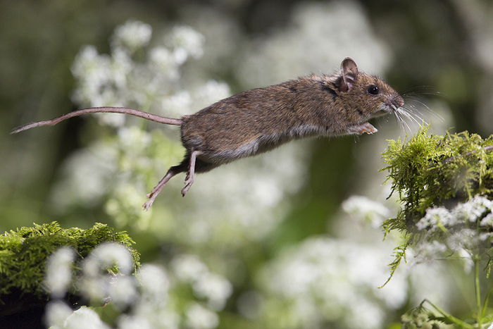 Wood Mouse, fot. Damian Kuzdak