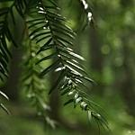 Igły cisa są miękkie i z wierzchu ciemnozielone, na spodzie posiadają dwa jasne paski