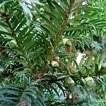 Nibyjagoda cisu  - nasiona są otoczone kubkowato otwartą z góry, mięsistą osnówką. Po dojrzeniu będzie jaskrawoczerwa,