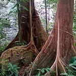 Autor  fot. Andrzej Węgiel. Las tropikalny. Większość rosnących tu drzew ma szerokie podpory. Pozwalają one zachować im stabilność na płytkiej glebie.