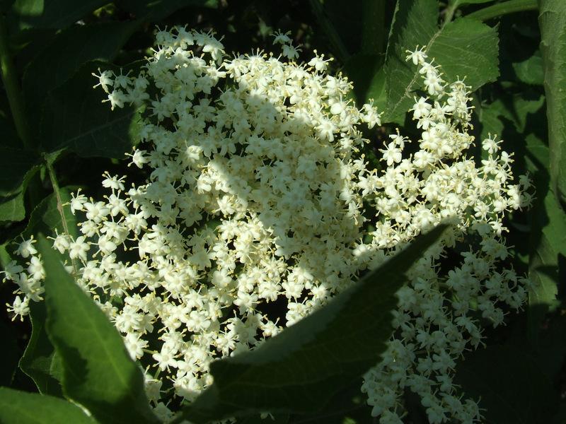 Kwiaty czarnego bzu, fot. Teresa Podgórska