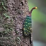 Autor  fot. Andrzej Węgiel. Charakterystyczny dla lasów Borneo owad Pyrops intricata z rodziny Fulgoride po angielsku nazywa się Latern Bag (latarniowy robaczek). Wprawdzie żaden owad z tej rodziny nie świeci, a swą nazwę zawdzięczają jaskrawemu ubarwieniu. Ich długość ciała może osiągać 5 cm, żywią się nektarem i sokiem owoców.