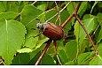 Chrabąszcz majowy, fot.: Artur Sawicki