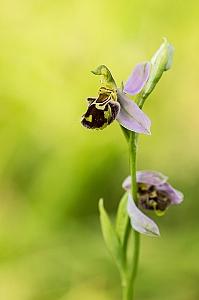 Dwulistnik pszczeli