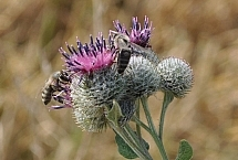 pszczoła - WP