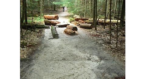 martwe drzewo-roztoczański park narodowy (4)