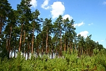 Sosna (Pinus L. 1753), fot. Teresa Podgórska